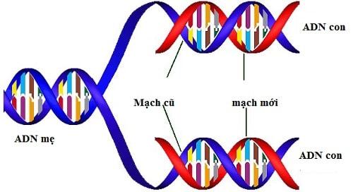 Ý nghĩa của quá trình nhân đôi ADN